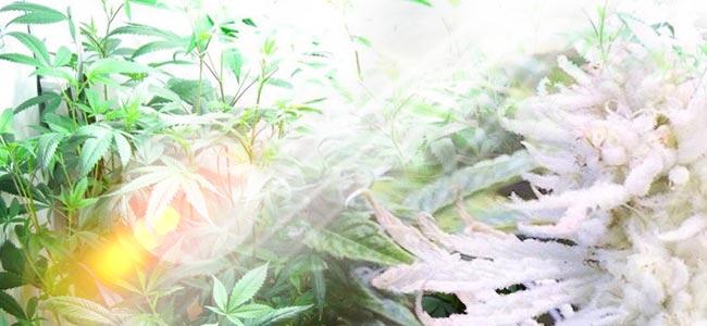 ¿Qué Causa El Albinismo En Las Plantas De Cannabis?