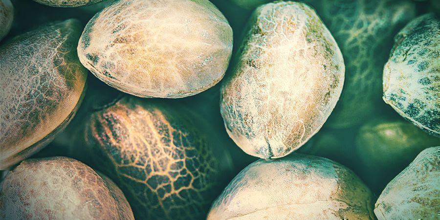 Tipos De Semillas Cannabis De Mala Calidad