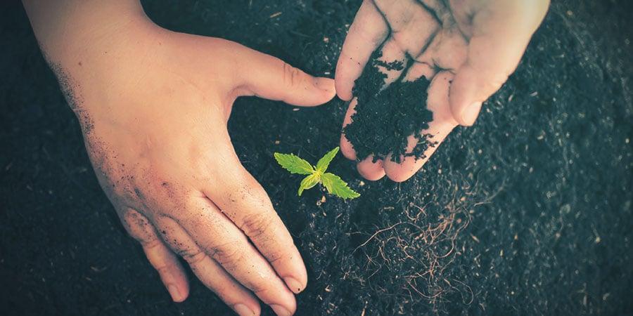 Cannabis Medio De Cultivo