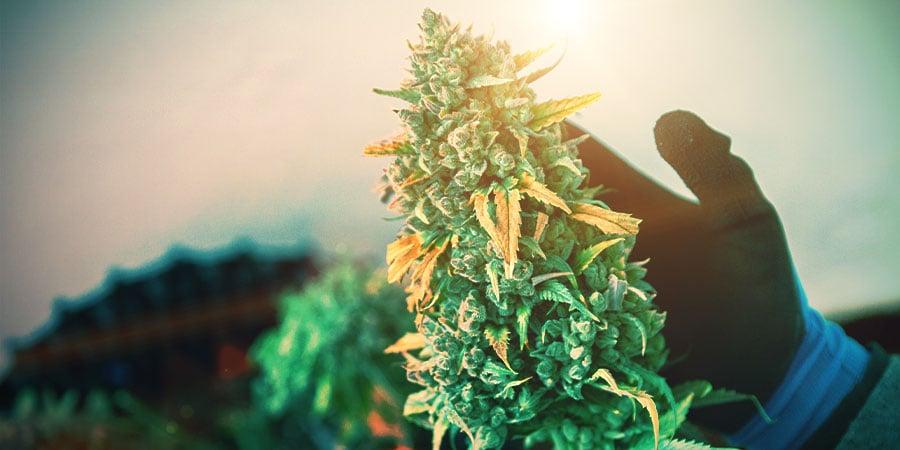 La Fase De Floración De La Marihuana