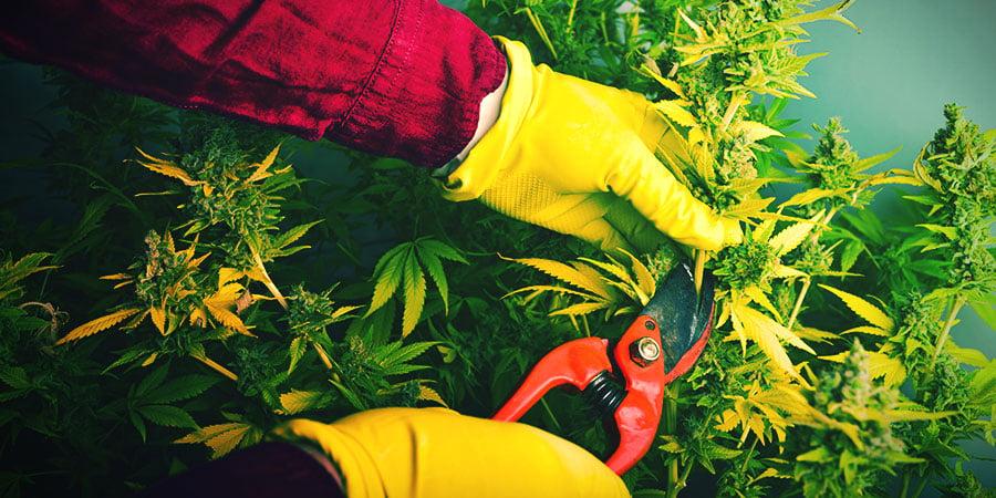 Cuándo Y Cómo Cosechar Y Secar Tu Cannabis