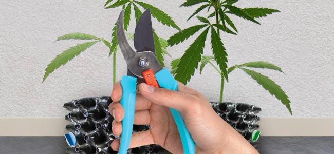 cosechar la marihuana más potente del planeta Tierra