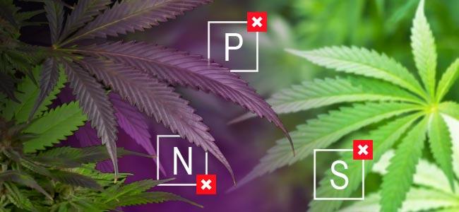 ¿Qué Son Las Variedades De Marihuana Moradas?