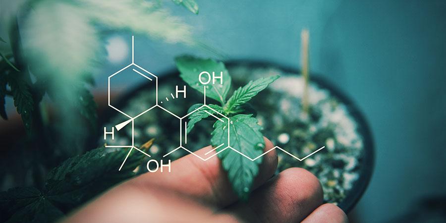 ¿Qué Efectos Producen Los Diferentes Cannabinoides?