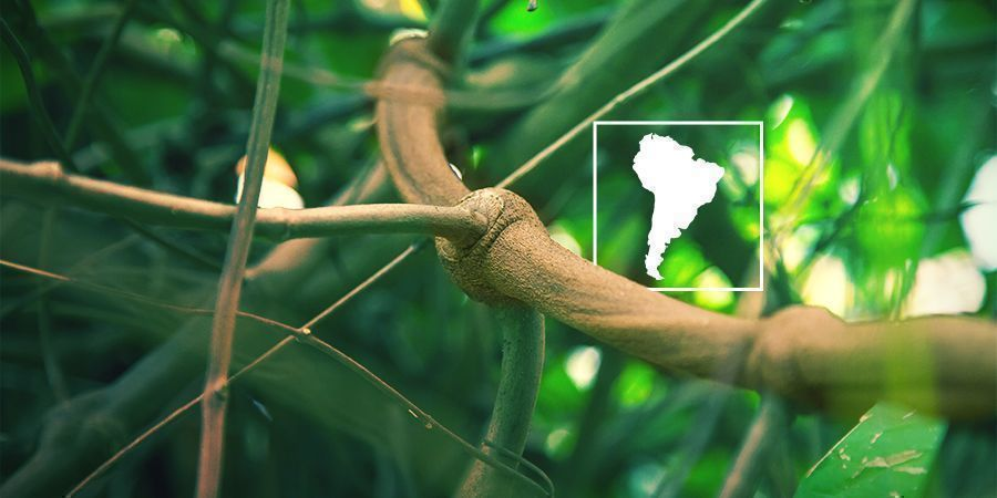 ¿Qué Es La Banisteriopsis Caapi Y Por Qué Cultivarla?