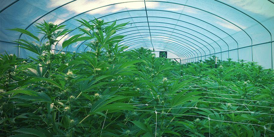 Exterior - Cosecha Continua De Marihuana