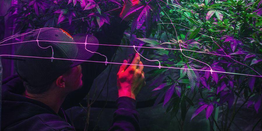 Cómo Montar Tu Zona De Cultivo - Cosecha Continua De Marihuana