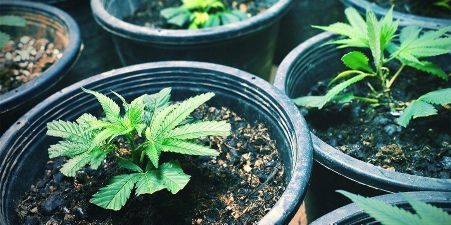 Cuándo Sacar Esquejes/Plantar Semillas - Cosecha Continua De Marihuana