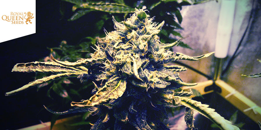 CRITICAL KUSH (ROYAL QUEEN SEEDS): EL DUELO DE TITANES