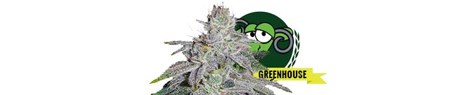 Franco's Lemon Cheese (Green House Seeds)
