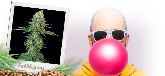 Bubblegum (T.H.Seeds™)