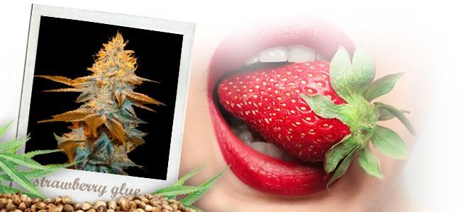 Strawberry Glue (T.H.Seeds™)