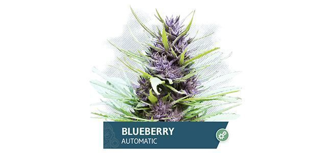 Blueberry Automatic (Zamnesia Seeds)