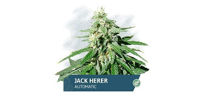 Jack Herer (Zamnesia Seeds)