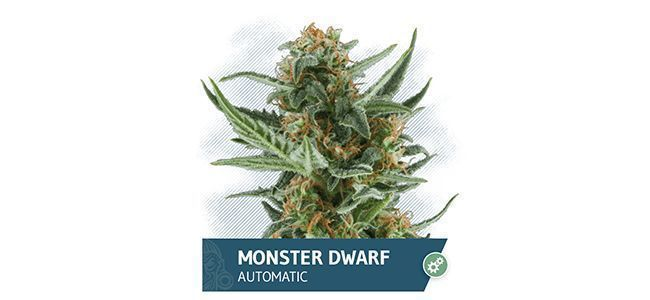 Monster Dwarf Auto (Zamnesia Seeds)