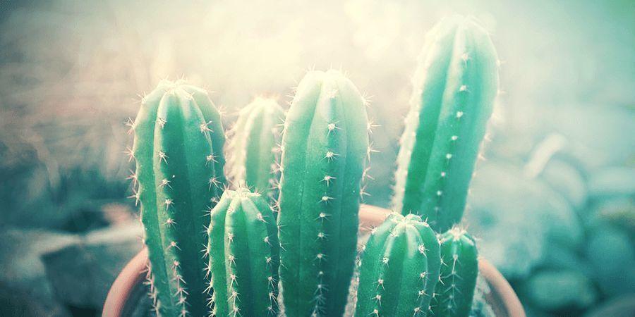 Demasiado Sol Es Malo Para El Cactus San Pedro