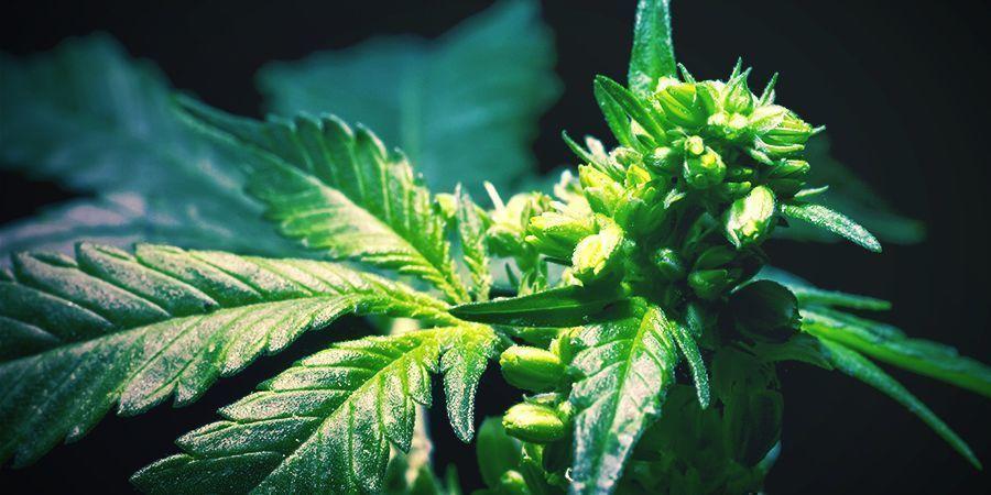 Cómo Retrocruzar Plantas De Cannabis