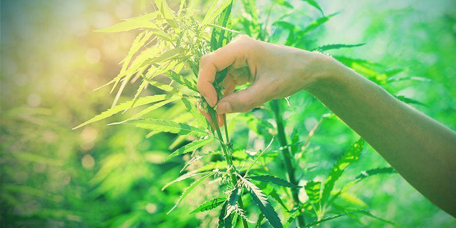 Elegir Plantas De Cannabis Para La Cría