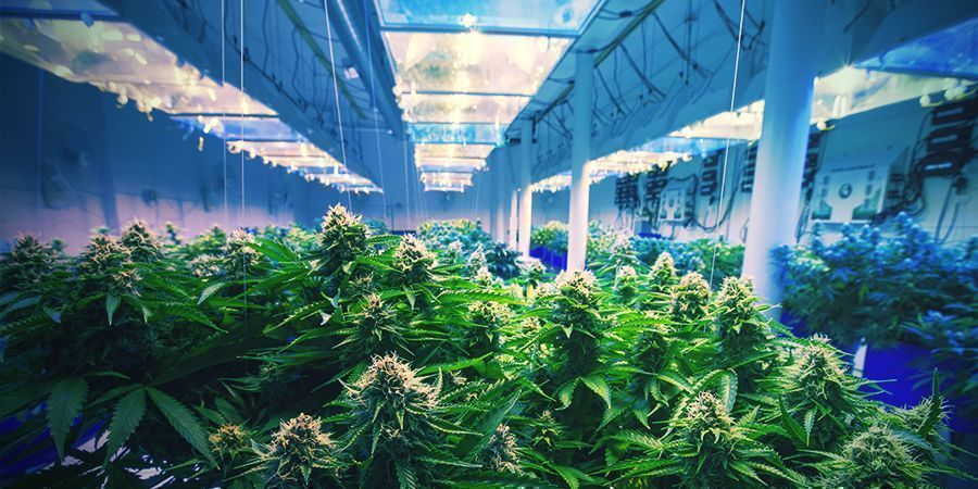 Cómo Estabilizar Tu Variedad De Cannabis