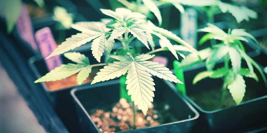 Cría A Pequeña Escala Cannabis