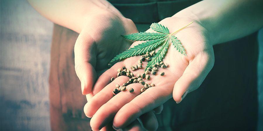 Beneficios Del Retrocruzamiento Plantas De Cannabis