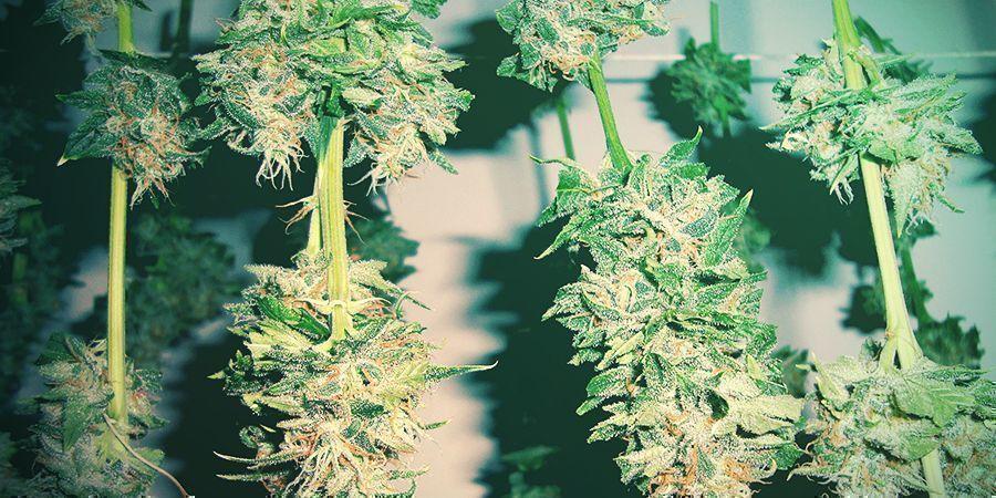 Cómo Evitar La Marihuana Con Moho