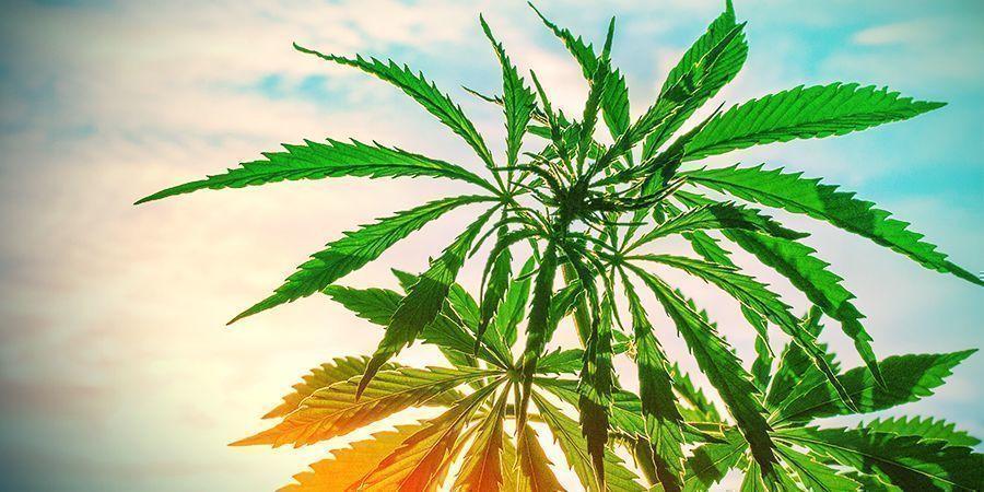 temperaturas muy altas Plantas de cannabis