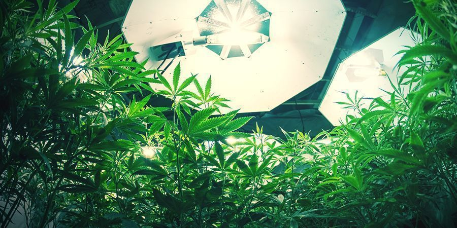 Plantas autoflorecientes de cannabis