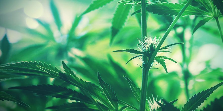 cogollos jóvenes de cannabis