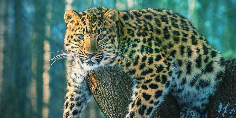 Jaguares Que Les Encanta Colocarse - Ayahuasca (Banisteriopsis Caapi)