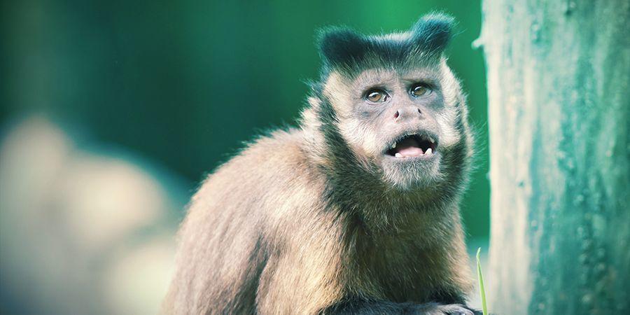 Monos Capuchinos Y Lemures Que Les Encanta Colocarse - Milpiés Alucinógenos