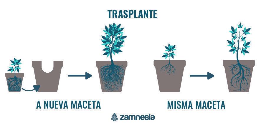 Transplante Planta De Cannabis