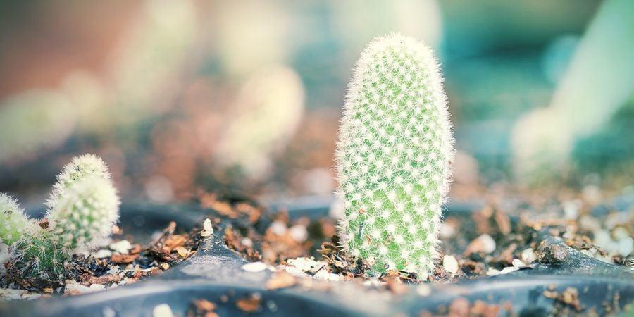 Plantar Tus Esquejes De Cactus Secos Y Con Callo
