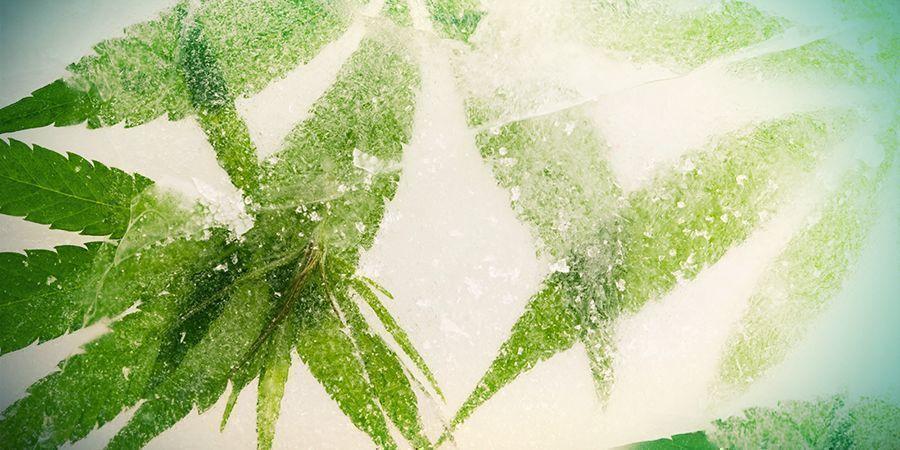 Ultracongelación Del Cannabis