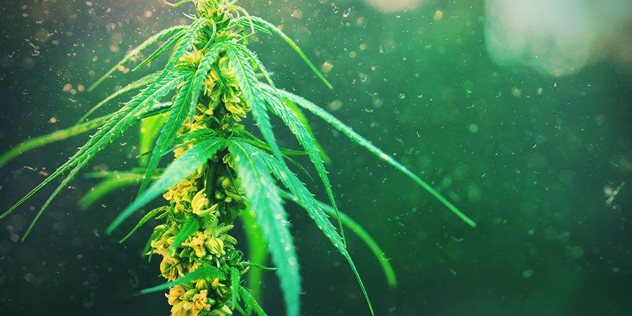 Retrocruce: La Manera Más Fácil De Estabilizar La Genética Del Cannabis