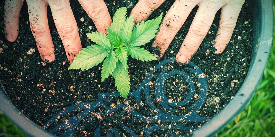 Cría De Cannabis: Crea Tus Propias Cepas En Casa