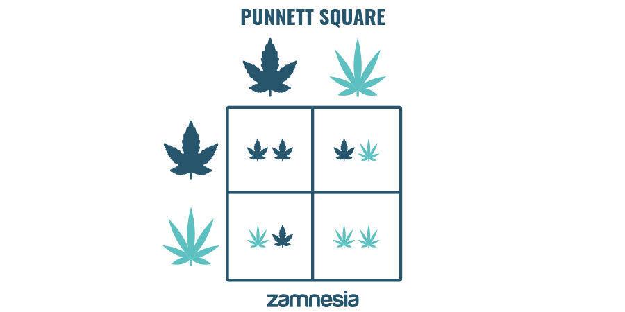 Genética De Cannabis Dominante Y Recesiva