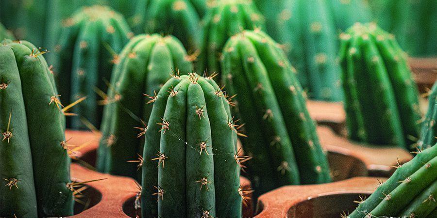 El Cactus Antorcha Peruana Tiene 10 Veces Más Mescalina Que El San Pedro
