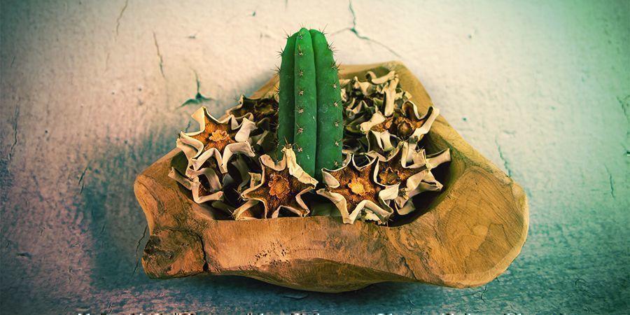 La Mayoría De Los Alcaloides De Mescalina Están En La Piel Exterior Del Cactus