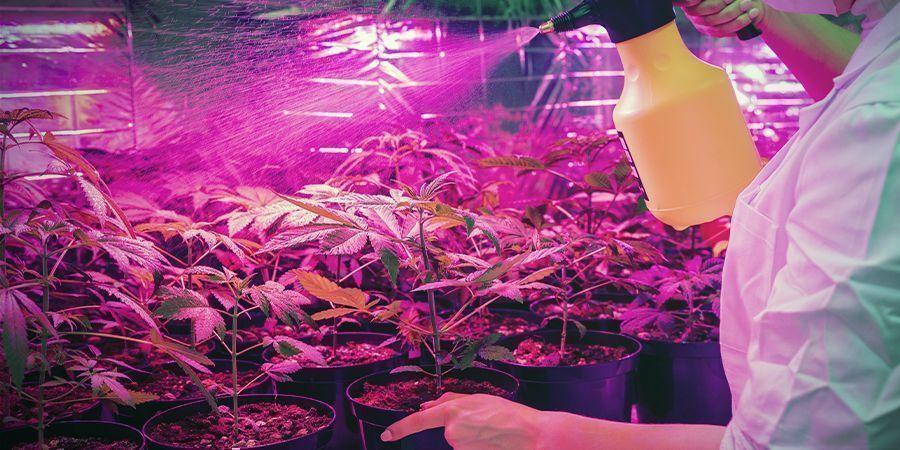 El Cultivo De Cannabis No Siempre Es Limpio