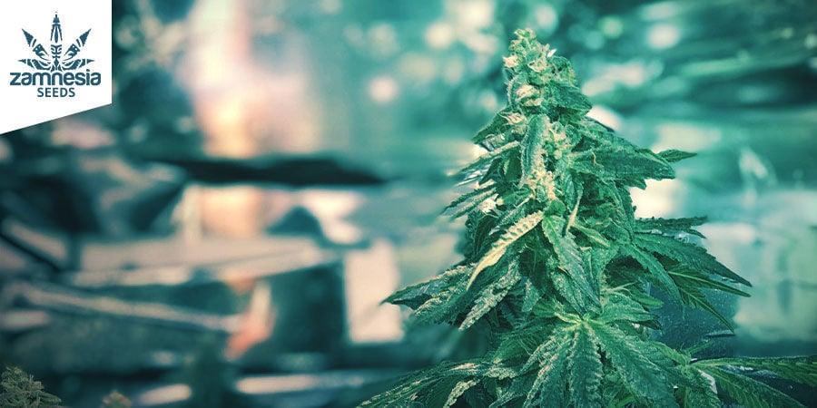 Amnesia Haze (Zamnesia Seeds) Feminizada