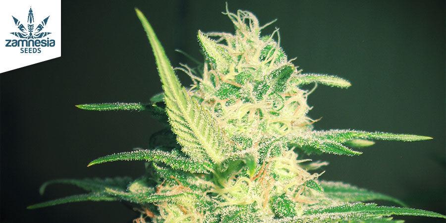 Critical (Zamnesia Seeds) Feminizada