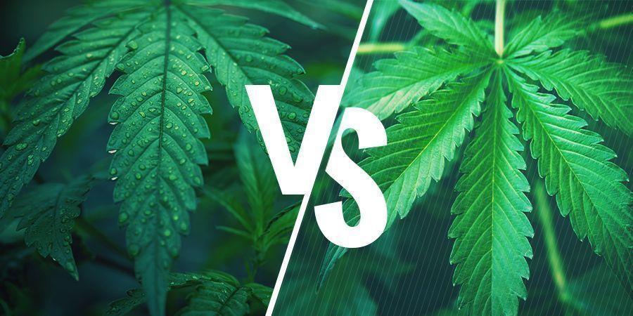 Índica Vs. Sativa: Elige La Variedad Adecuada Para Tus Comestibles De Cannabis