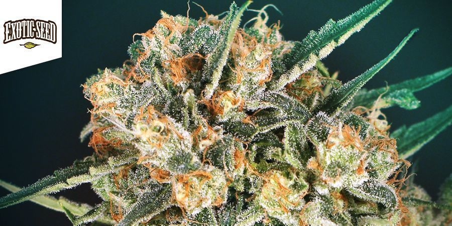 Hippy Therapy (Exotic Seed)