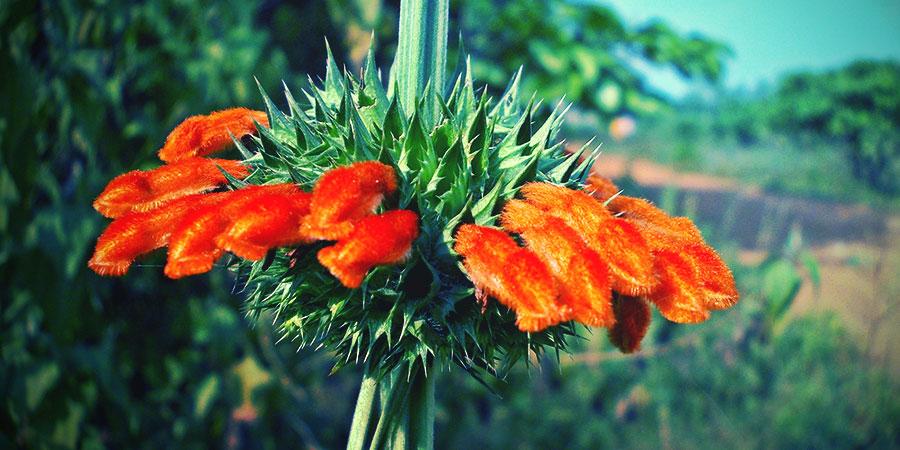 Wild Dagga Flor