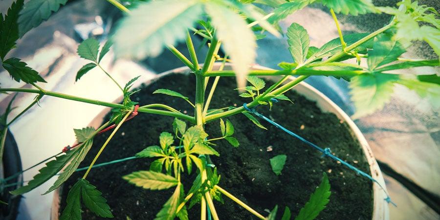 Poda Y Entrena Las Plantas