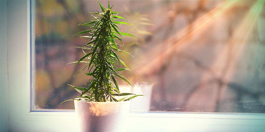 Qué Puedes Esperar Del Cannabis Cultivado Fuera De Un Cuarto De Cultivo
