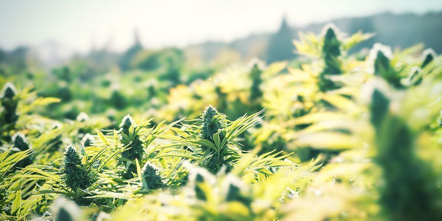 Cultiva marihuana al aire libre para ahorrar dinero de forma sencilla