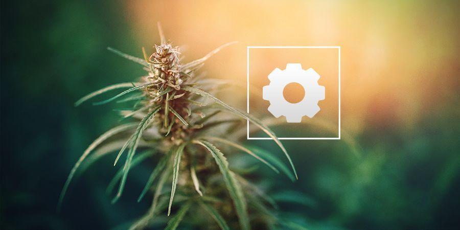 ¿Cuánta Luz Solar Necesita La Marihuana Autoflorecientes?