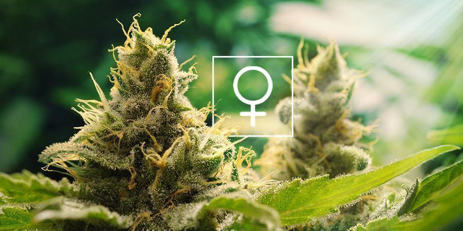 ¿Cuánta Luz Solar Necesita La Marihuana Feminizadas?